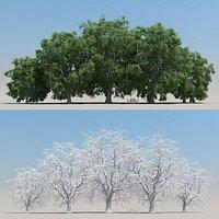 5-5 Juglans Trees