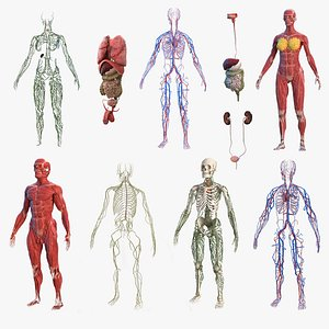 male female body anatomy 3D model