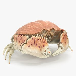 3D model Common Box Crab