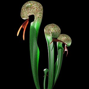 3D darlingtonia plant model