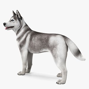 3D Siberian Husky Gray Standing Pose
