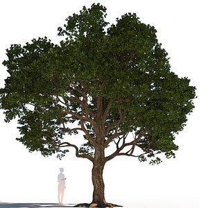 coast live oak quercus 3D model