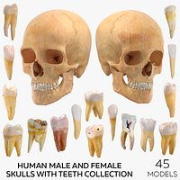 Human Male and Female Skulls with Teeth Collection - 45 models