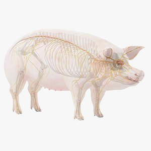 Pig  Body Skeleton and Nerves Static 3D model