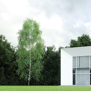 3D betula pendula birch 15m model
