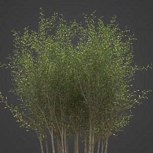 3D 2021 PBR Grey Willow Collection - Salix Cinerea