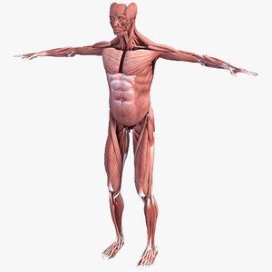 Realistic Muscular System Human Male Anatomy 3D model