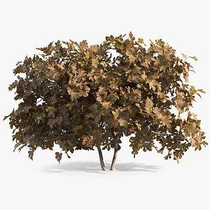 autumn fig tree trunks 3D model