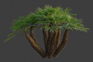 XfrogPlants Mediterranean Fan Palm - Chamaerops Humilis model