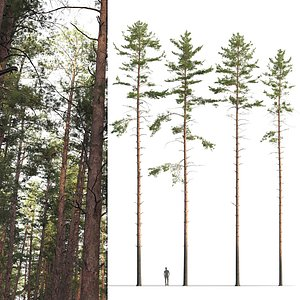 3D model pines sylvestris trees