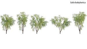 3D Salix babylonica - Weeping Willow model