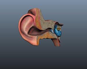 3D model Ear ear canal cochlea eardrum auricle ear model