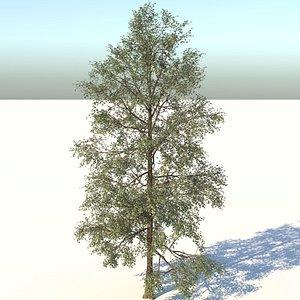 3D white birch tree model