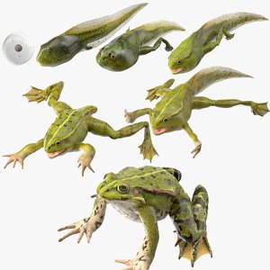 3D Frog Life Cycle Stages Rigged for Maya