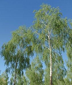 3D Natural Birch 3 - 15 meters