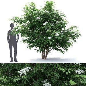 elderberry nigra 01 model