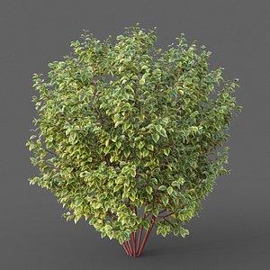 3D XfrogPlants Siberian Dogwood - Cornus Alba model