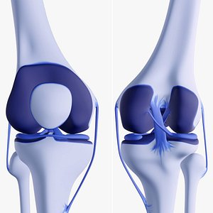 human knee joint ligaments model