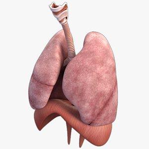 3D model Realistic Respiratory System Human Male Anatomy