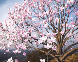 3D model XfrogPlants Saucer Magnolia - Magnolia Soulangeana