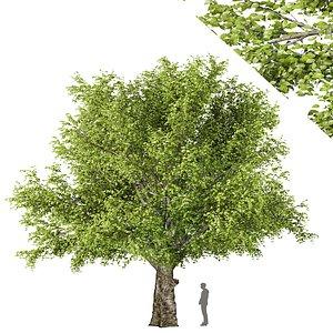 3D beech tree