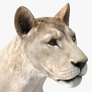 Young White Lion Rigged for Modo 3D model