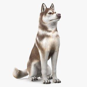 Sitting Siberian Husky Copper and White Fur 3D model