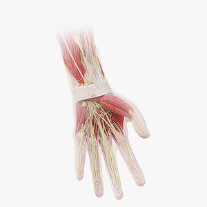Human Male Hand Anatomy model