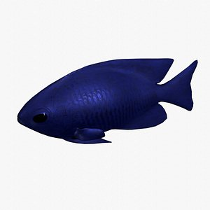 3D blue damselfish model