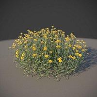XfrogPlants Cotton Lavender - Santolina Chamaecyparissus