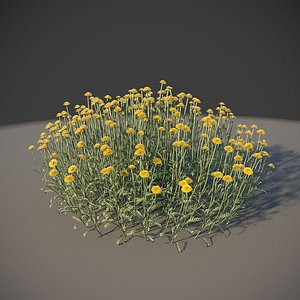 XfrogPlants Cotton Lavender - Santolina Chamaecyparissus 3D model