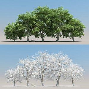 summer beech tree 3D model