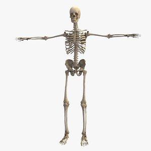 Realistic Complete Skeletal System Human Anatomy 3D model
