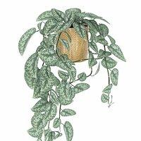 Vine plant Scindapsus pictus
