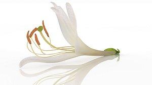 3D Japanese honeysuckle flower health herb model