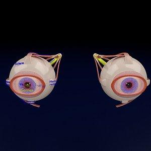 Eye anatomy cut open detail labelled 3D