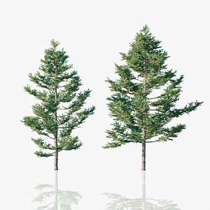 Japanese White Larch Trees 3D model