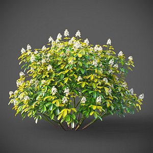3D XfrogPlants Mexican Orange Blossom - Choisya Ternata Sundance