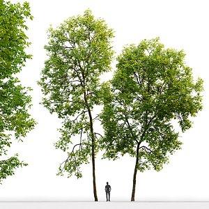 tree ash-tree 3D