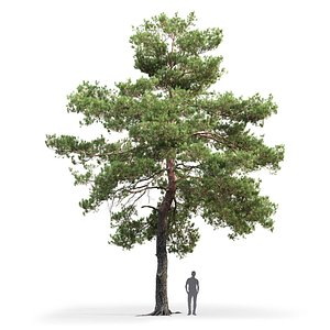 tree sylvestris 13 3D model