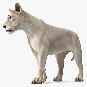 3D White Young Lion Walking Pose