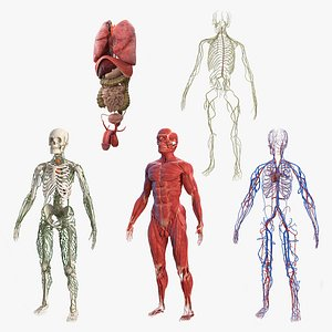 male body anatomy internal 3D model