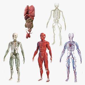 male body anatomy internal 3D model