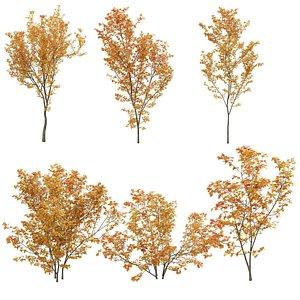 3D Acer circinatum 02
