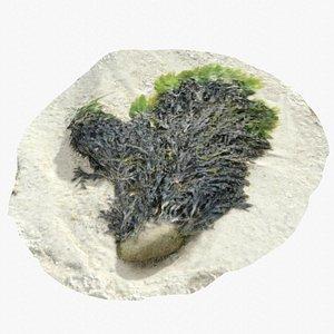 3D Alga From Brittany Coast 5