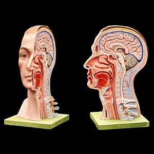 3D anatomy head brain model