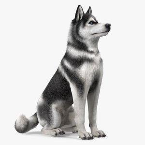 3D Sitting Husky Dog Black and White Fur