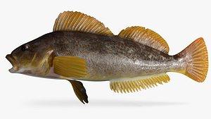 kelp greenling female 3D model