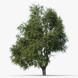 3D model pumila elm tree animation