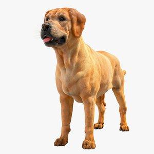 Labrador Retriver 3D